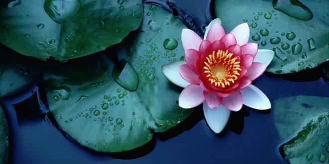 Toprakta doğup suda yaşamını sürdüren Lotus Çiçeği geceleri su altına çekilir. Gündüz güneşin doğumu ile birlikte su üzerine yürüyen Lotus Çiçeği, kirli/bataklık bölgelerde yaşamını sürdürmesine karşın temizliğin, arınmanın ve yeniden varoluşun simgesi sayılır.
