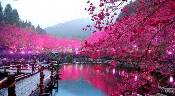 Çiçekleri açtığı zaman bizi bir masal alemine göz atmaya davet eden bu nefes kesici bitkiler bize güzellikleriyle sarmalanmış öğütler de vermektedirler. Güzellikler içinde öğrenme ve öğretme iz bırakıcıdır. Uzak doğu felsefesinin temel taşlarından biri olan zıtlıkların birliği düşüncesi kendisini Sakura bitkisinde göstermektedir.