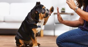 Are you thinking of bringing a new dog into your life? Do you want to train your dog to serve your needs rather than serving their own? It is best to attend dog courses led by a professional trainer, but not everyone can afford it financially. These tips are a good start to training your canine companion. There are many philosophies and approaches to dog training, so do your research to find out which one is best for you and your dog. Whichever approach you choose to train your dog, it is important to have a good relationship with him in order to be able to train his dog effectively.