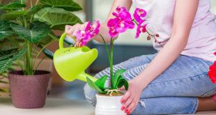 En önemli noktalardan birisi çiçeğin aldığı güneş ışınıdır. Cam önüne koyulan çiçekler fazla yaşamaz çünkü güneş ışınını direkt alır. Özellikle kış mevsimiyse, cam önünden kaçınılması gerekir. Çünkü içerinin sıcaklığı ile dışarının sıcaklığı birbirini dengelemez ve çiçek ölür.